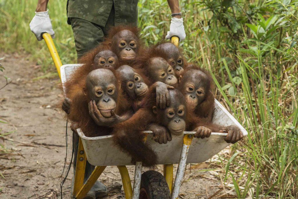 """Eines der besten Pressefotos: """"Tough Times for Orangutans"""" - Foto: Tim Laman"""