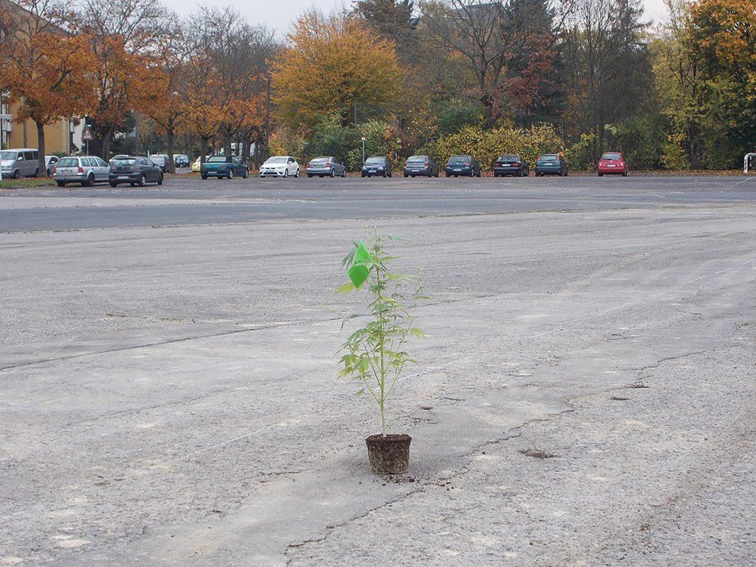 Einsam und verlassen auf dem Volksfestplatz. Wer hat die Marihuanaplanze ausgesetzt ? Foto: Polizei