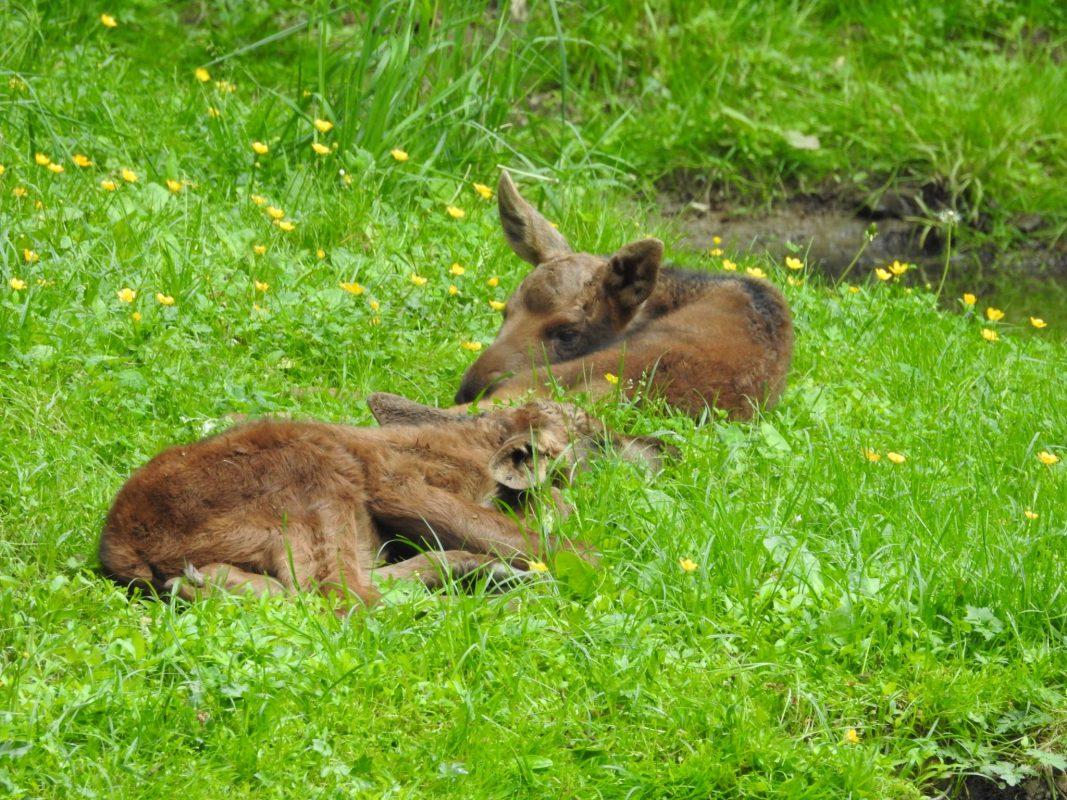 Der Elchnachwuchs im Wildpark. Foto: Dirk Flieger