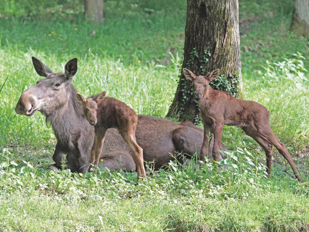 Die Elche aus dem Schweinfurter Wildpark. Foto: Florian Dittert.