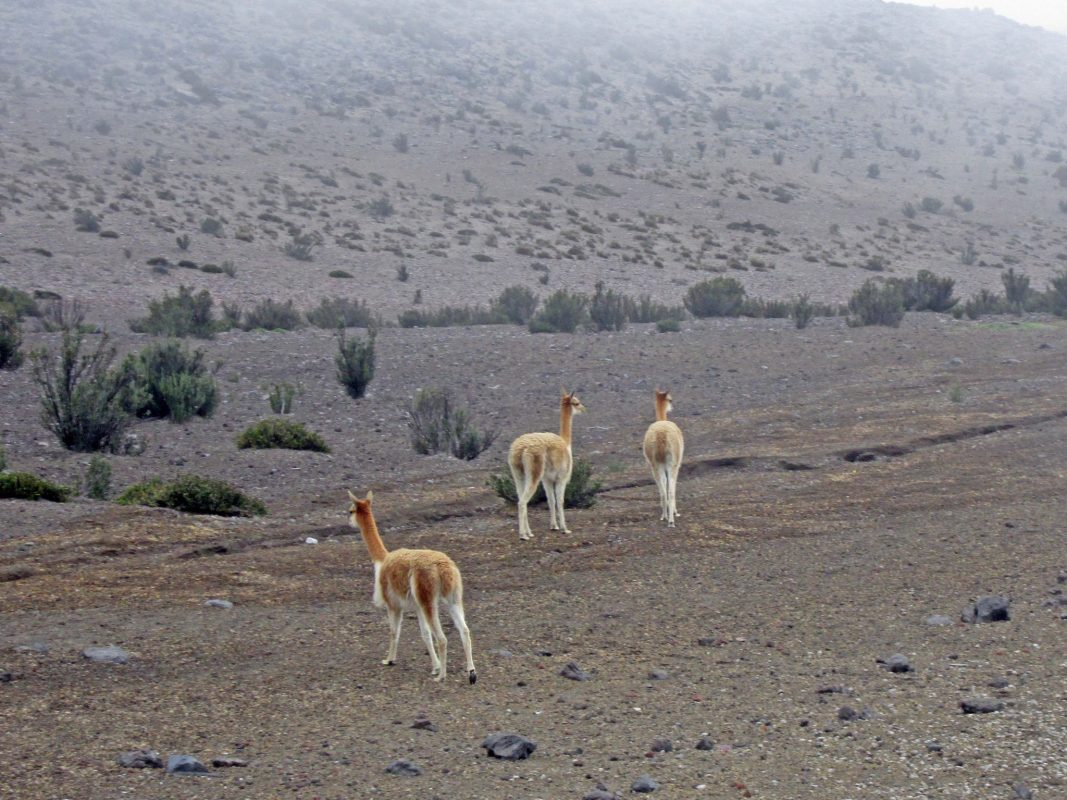 Alpakas in Südamerika