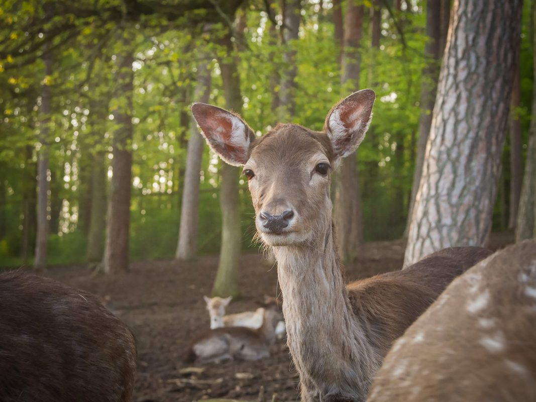 Reh, Tier, Wildpark, Sommerhausen, Kitz