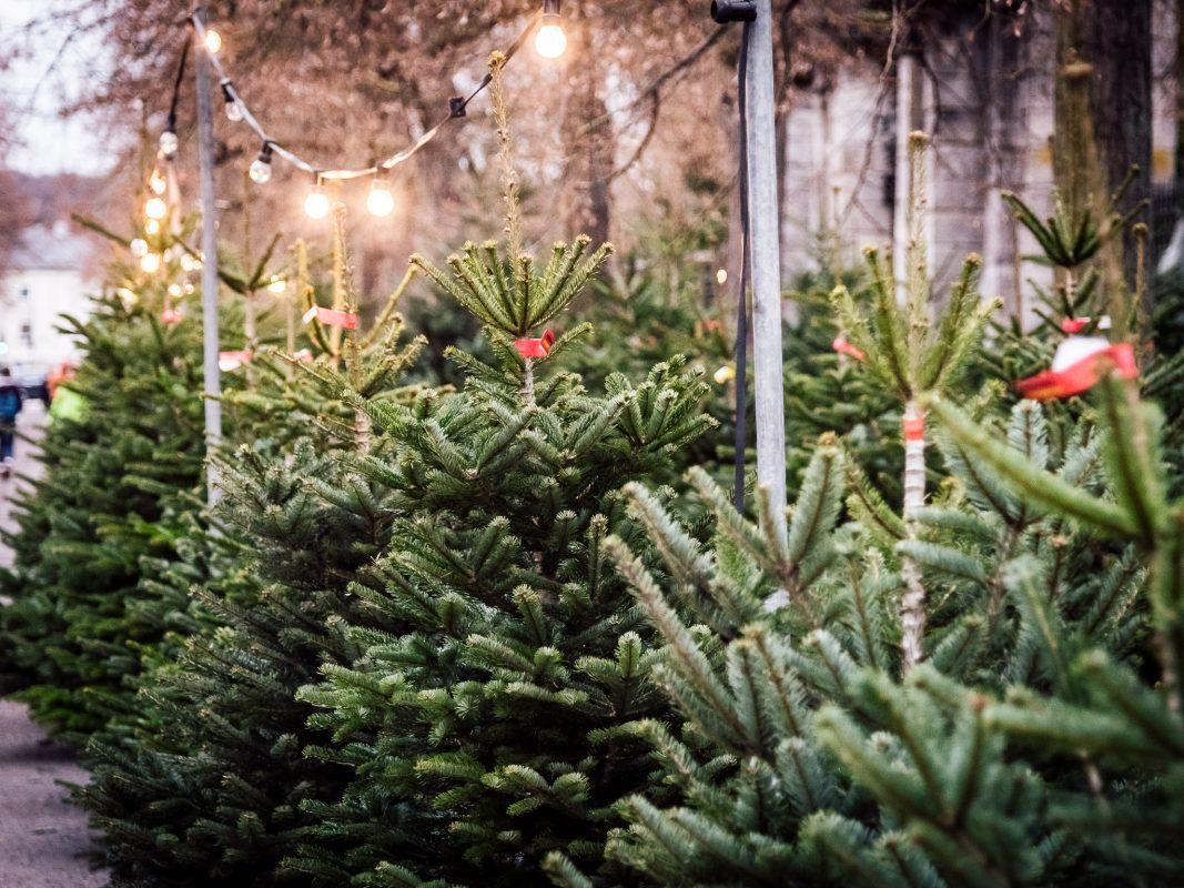 Weihnachtsbaumverkauf. Foto: Pascal Höfig