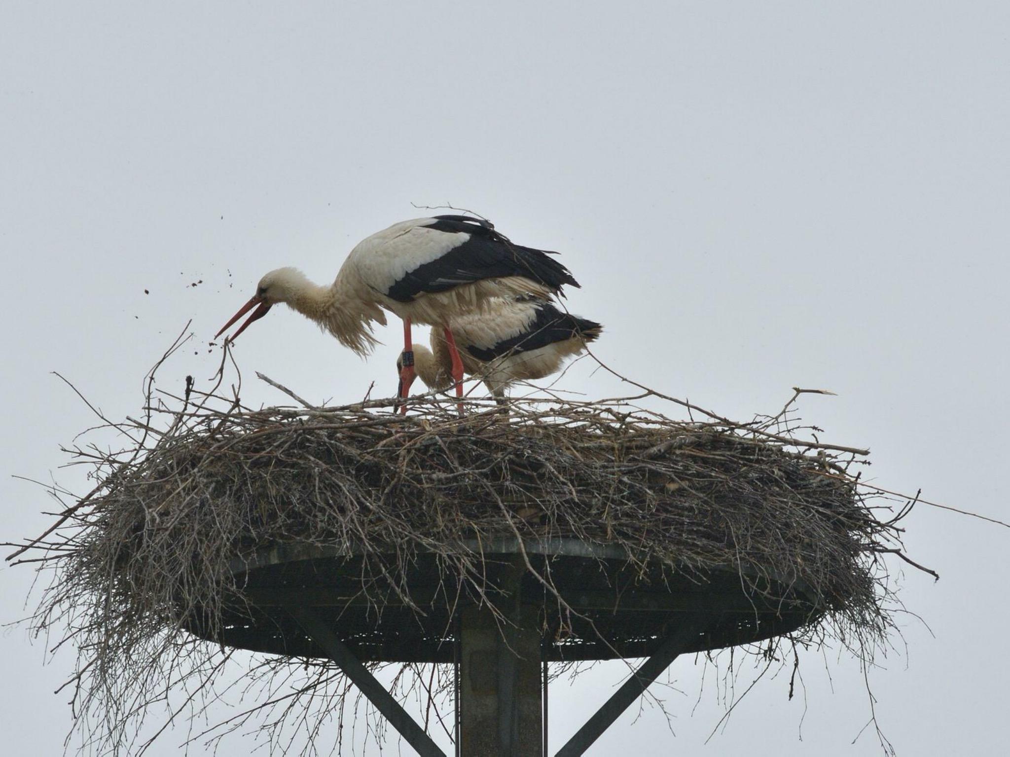 """Ein Storchenpaar mit Drillingen hat es sich im Nest im Naturschutzgebiet """"Wipfelder Mainauen"""" gemütlich gemacht. Foto: Stefan Laubender"""