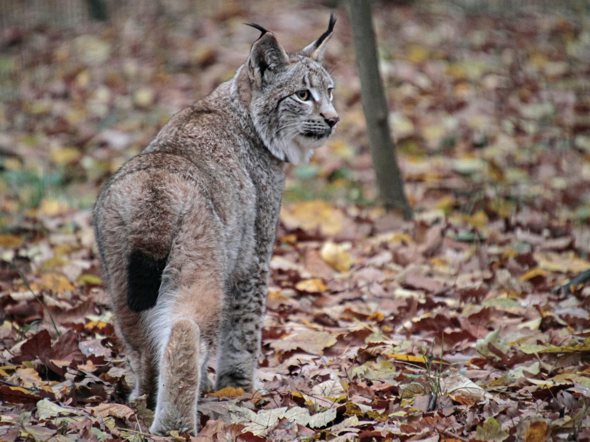 Der Wildpark bekommt Zuwachs: Luchsdame Hedwig. Bildquelle: Florian Dittert
