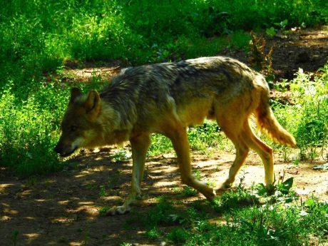 Ein Wolf. Symbolfoto: Dirk Flieger