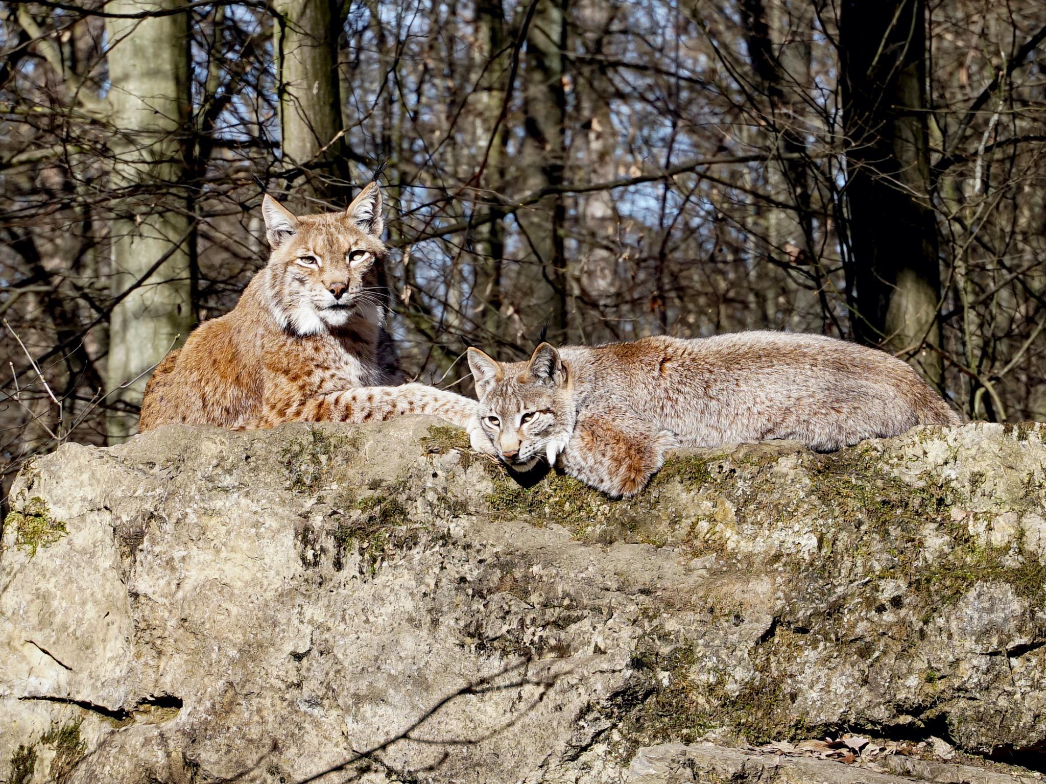 Luchs Hedwig und Schörschla warten auf die Gäste. Foto: Florian Dittert