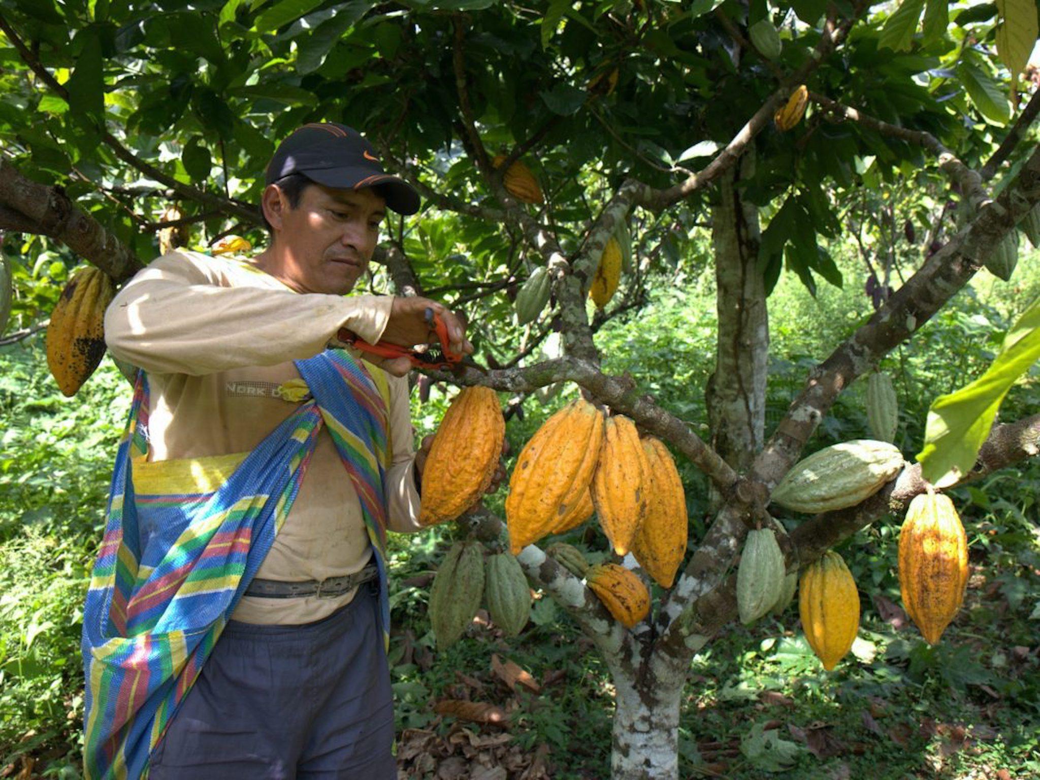Kakaobohnen Ernte auf der Plantage. Foto: PERÚ PORO GmbH