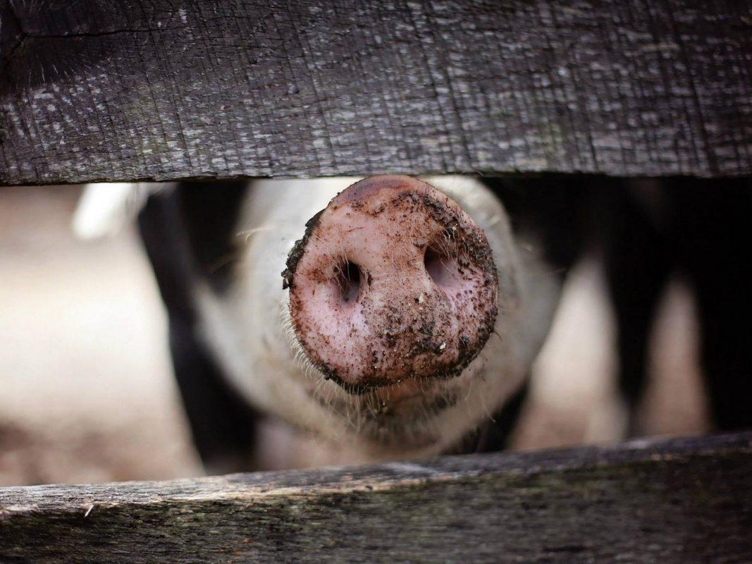 Hausschwein. Symbolfoto: Pixabay